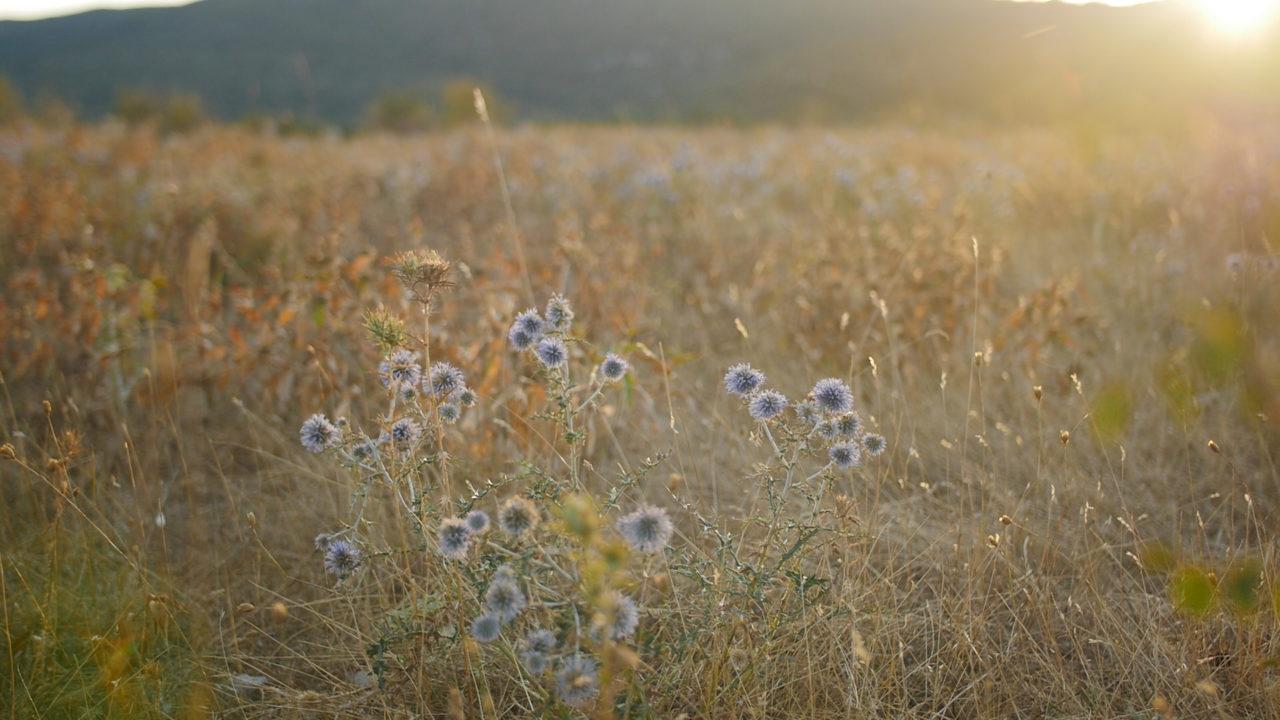 le larzac au petit matin fleurs