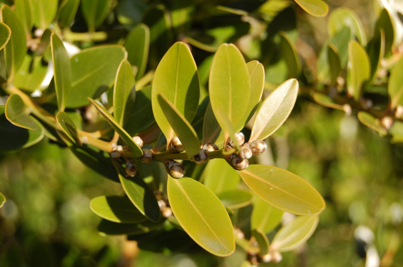buis feuilles