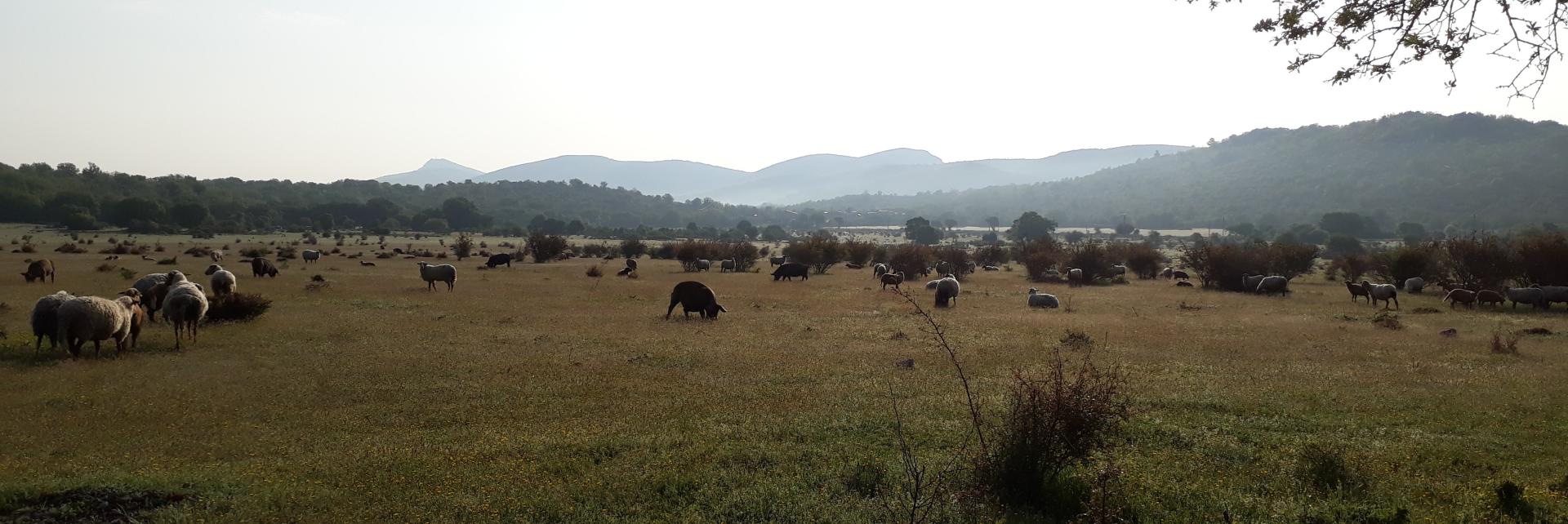 Cochons bio plein air